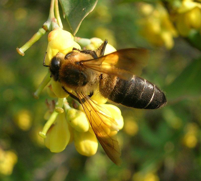 ape che produce miele allucinogeno