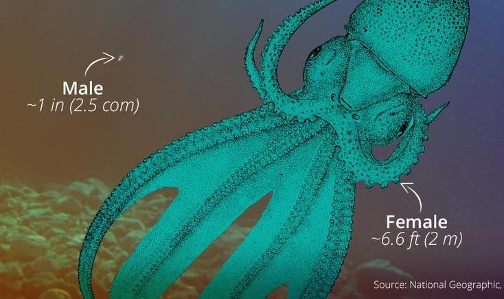 polpo coperta, Tremoctopus Violaceus