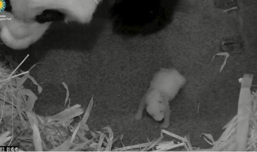 neonato di panda