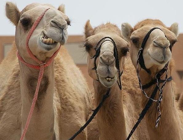 concorso di bellezza per cammelli
