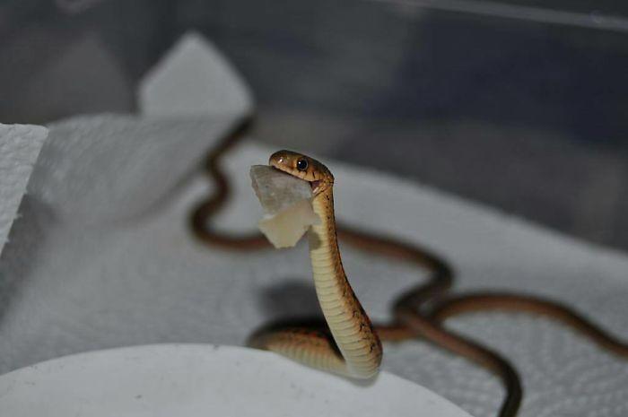 serpenti teneri