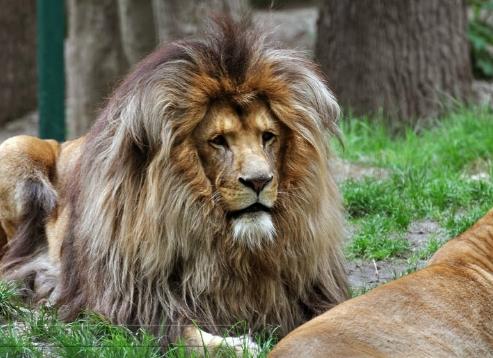 leone dalla criniera scura e folta