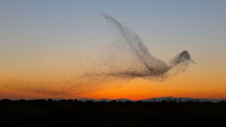 stormo a forma di uccello, murmuration