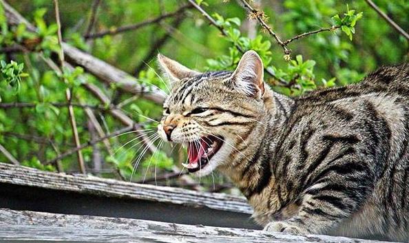 perché i gatti soffiano