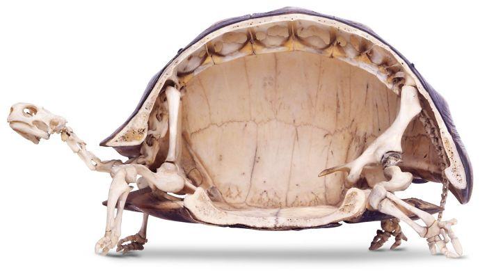 Lo scheletro di una tartaruga