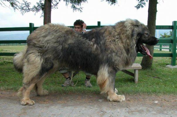 cani da pastore del caucaso