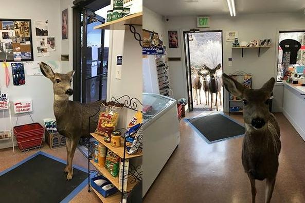 cervi entrano in negozio