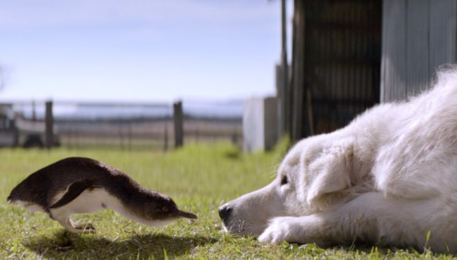 Cani da pastore con pinguini