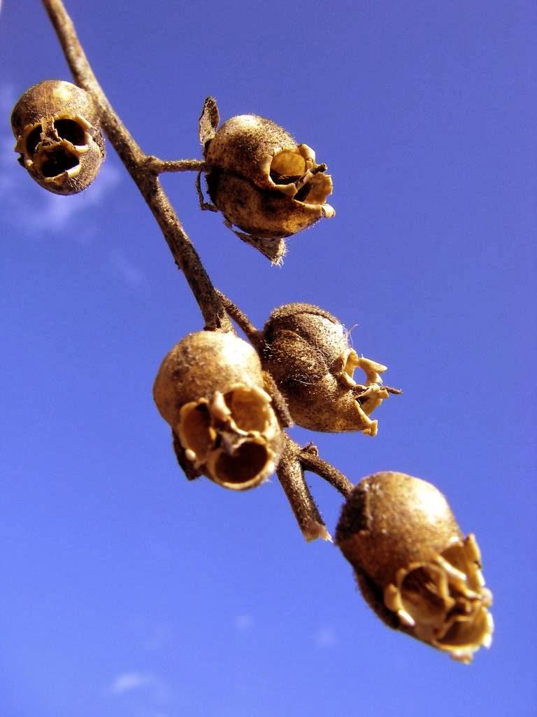 Bocca di leone (Antirrhinum) che sembra un teschio