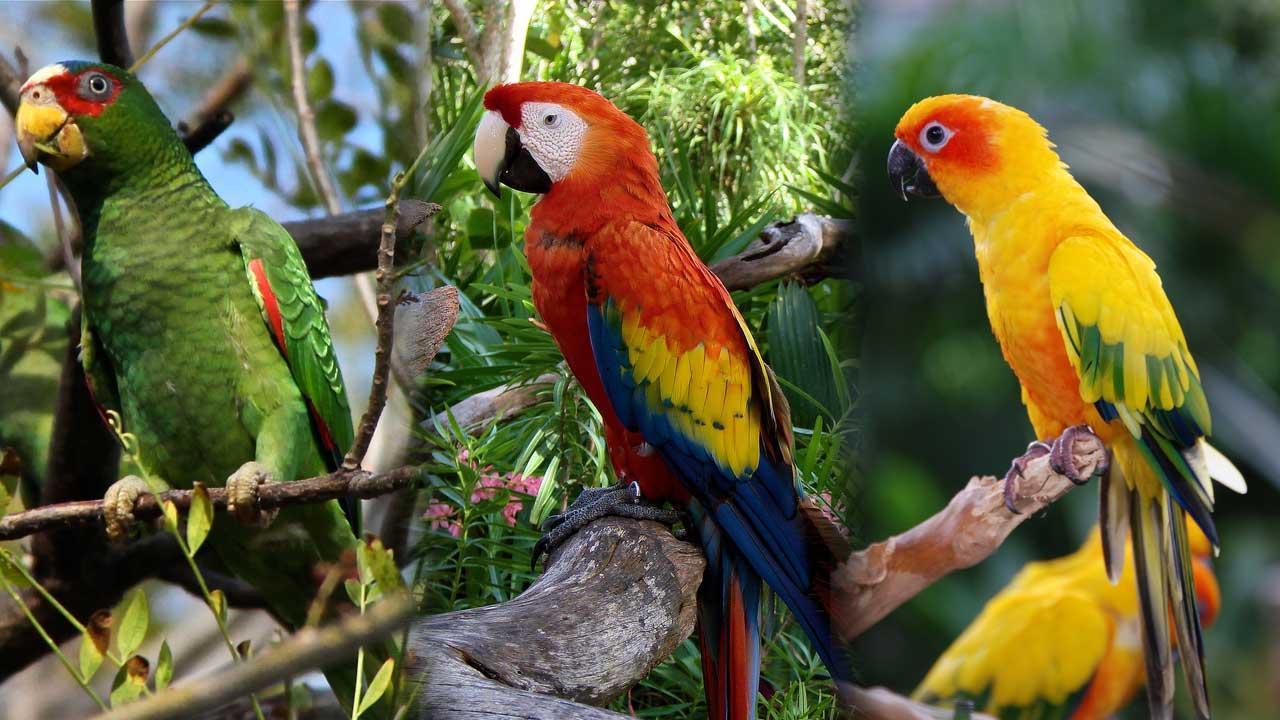 Pappagallini delle Amazzoni