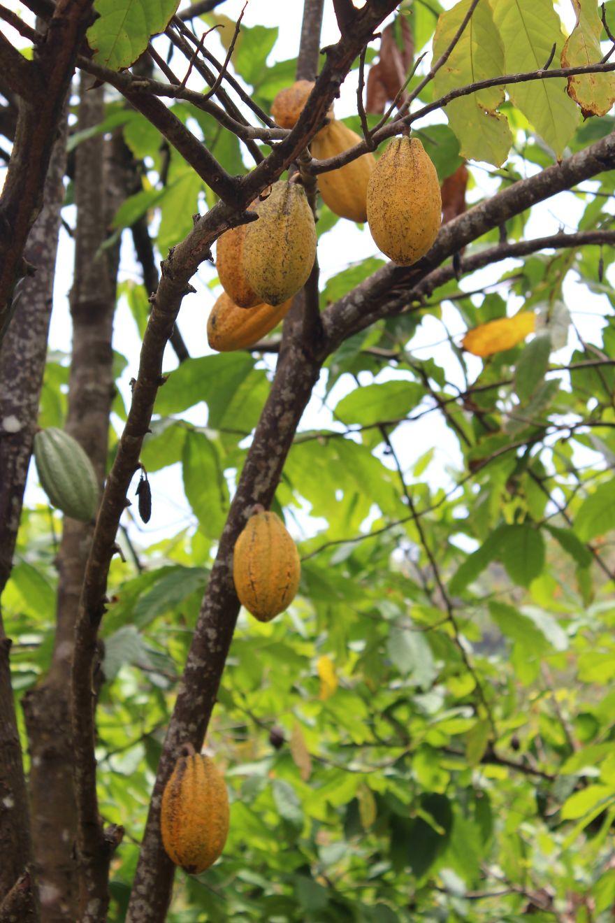 I frutti del cacao crescono appesi a rami resistenti