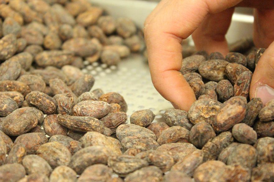 Quando il produttore riceve i semi, li seleziona uno ad uno