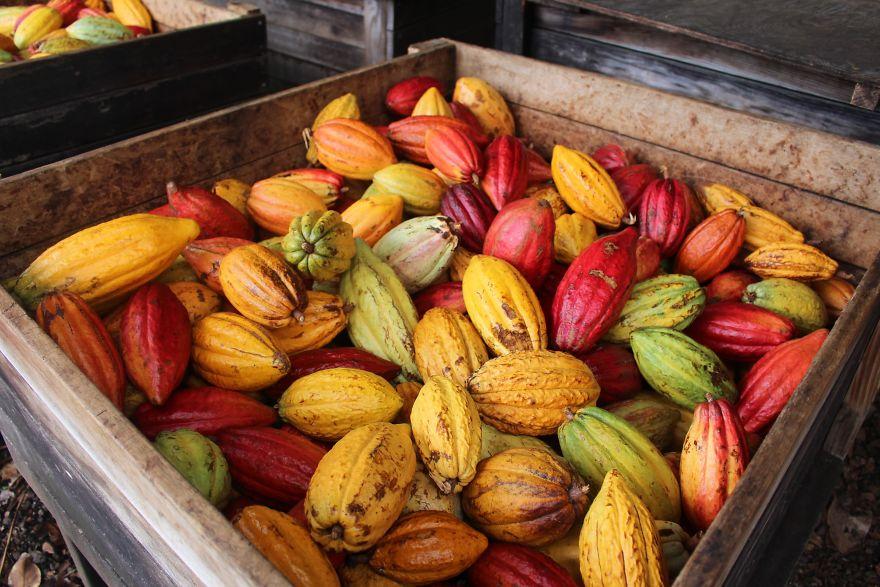 I frutti del cacao sono di tutti i colori
