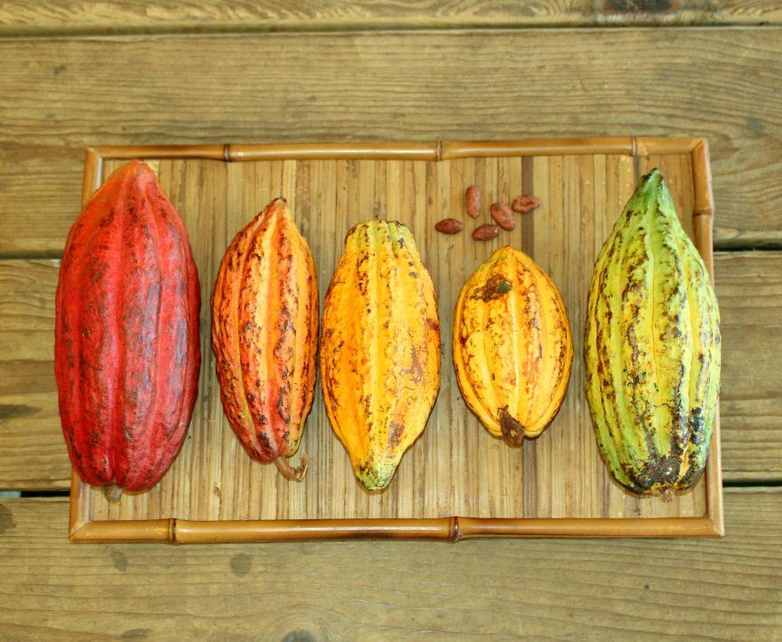 I colori dei frutti del cacao vanno dal rosso al verde