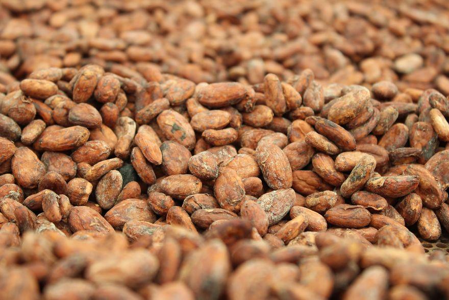 Semi di cacao lasciati al sole