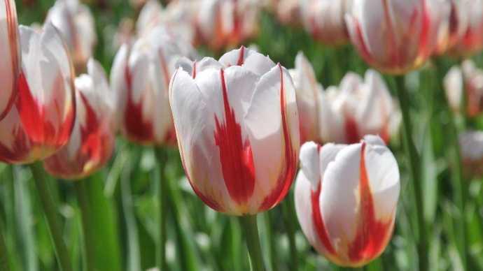 Canada 150, i Tulipani con i colori della bandiera canadese