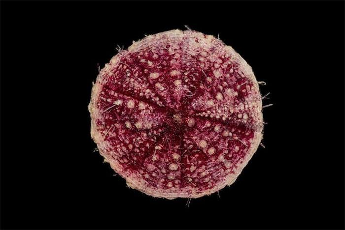 Phormosoma placenta, ricci a pancake