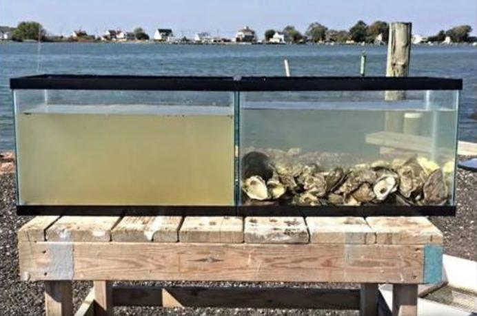 ostriche puliscono l'acqua