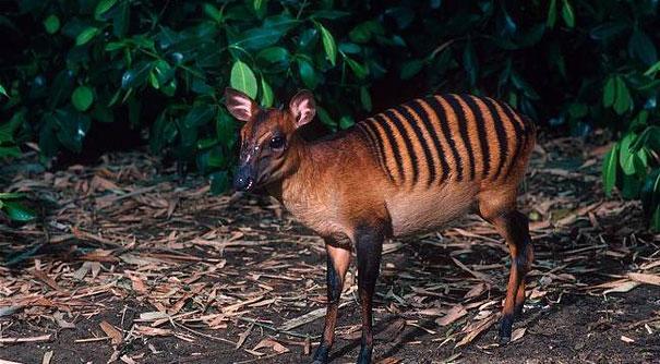 Il cefalofo zebra