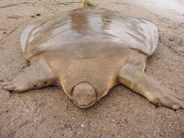 La rara tartaruga guscio molle gigante di Cantor