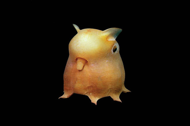 Grimpoteuthis Robson o polpo dumbo