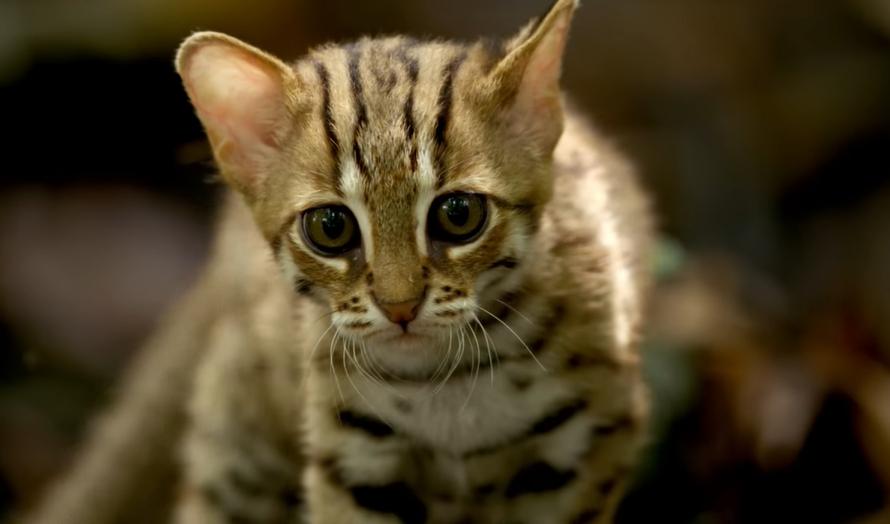 Foto del gatto rugginoso