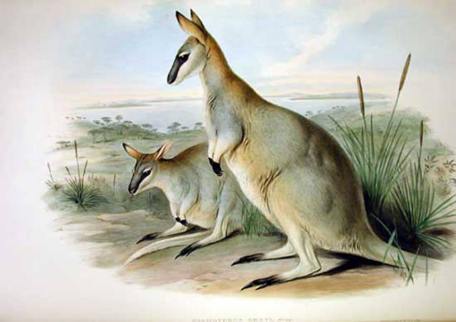 Lo wallaby toolache