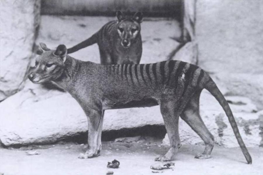 La tigre della Tasmania