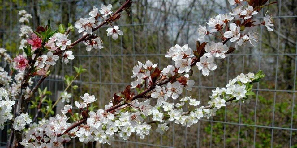 L'albero che produce 40 diversi tipi di frutta di Sam Van Aken