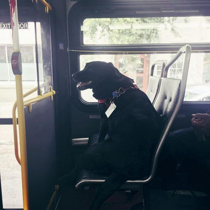 Eclipse il cane che prende il bus da solo