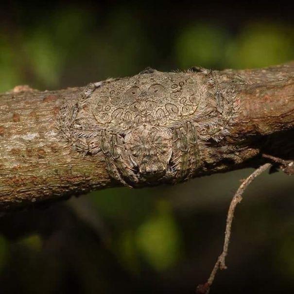 Dolophones conifera, il ragno