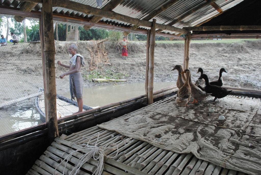 Anatre nei giardini galleggianti in Bangladesh