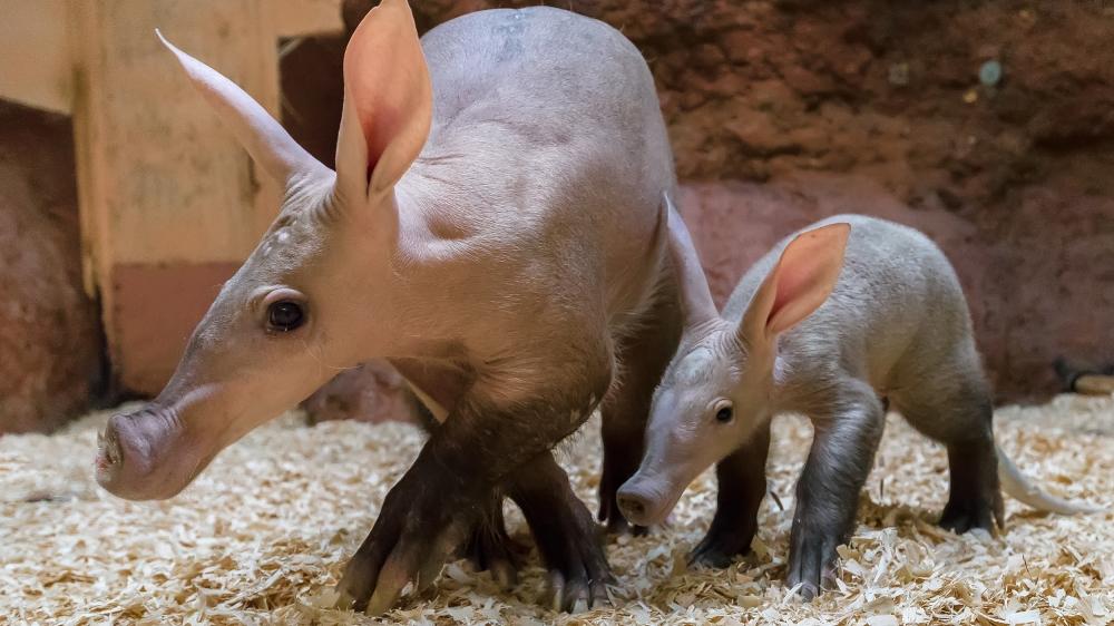 Oritteropo (aardvark)