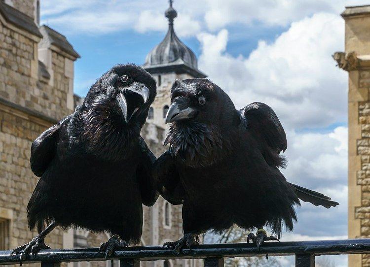 Corvi alla torre di Londra