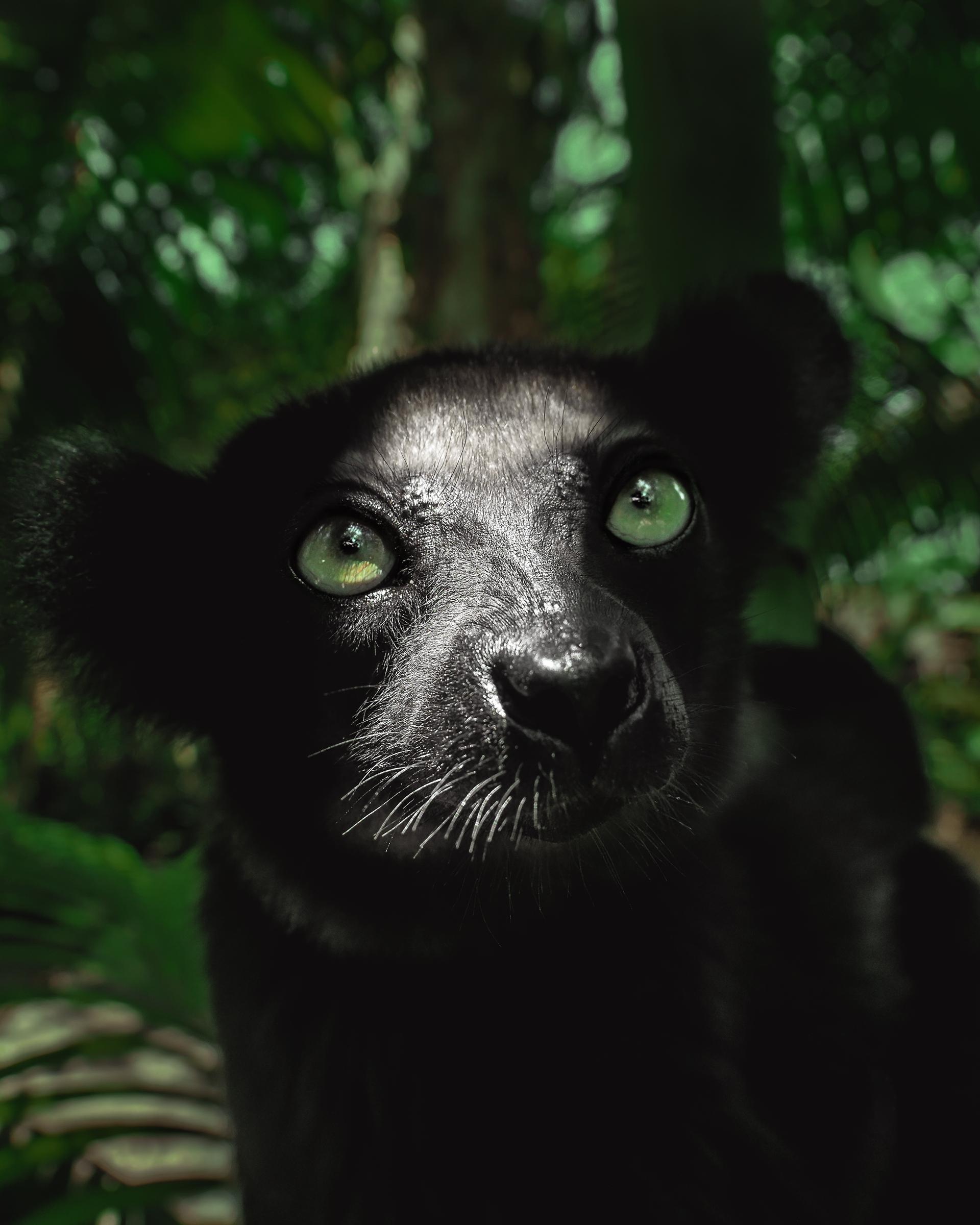 Un lemure nero