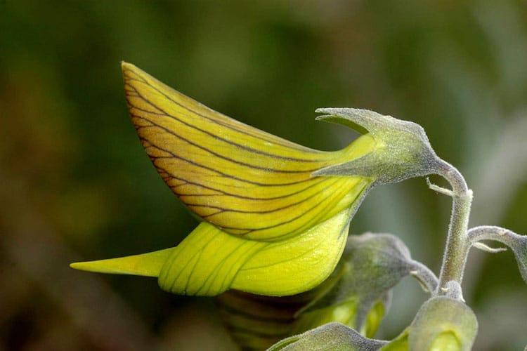 Fiore di Crotalaria cunninghamii