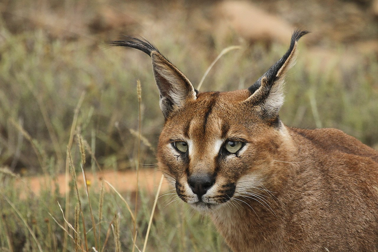 Gatto caracal