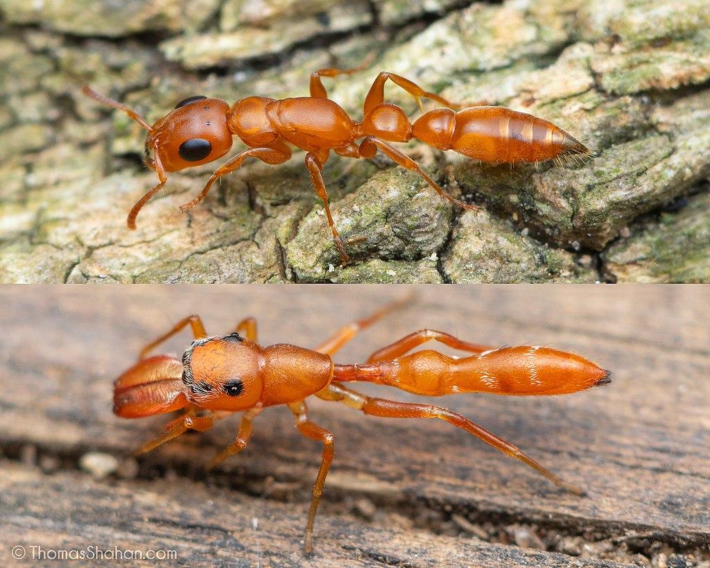 Paragone tra la formica e il ragno che la imita