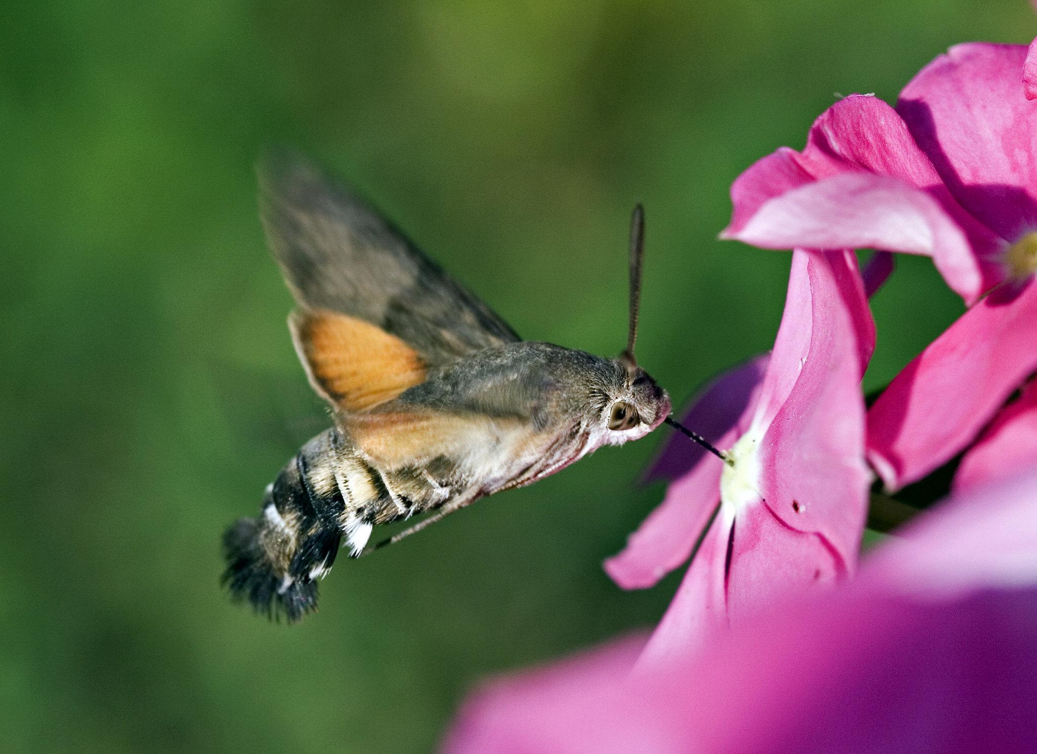 Sfinge del galio o sfinge colibrì