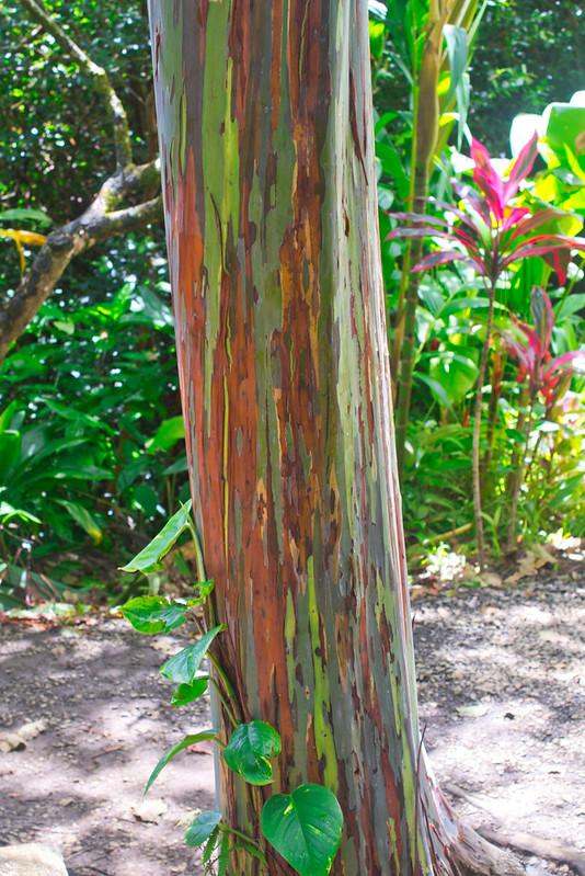 Gli alberi di eucalipto color arcobaleno