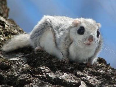 scoiattolo volante giapponese