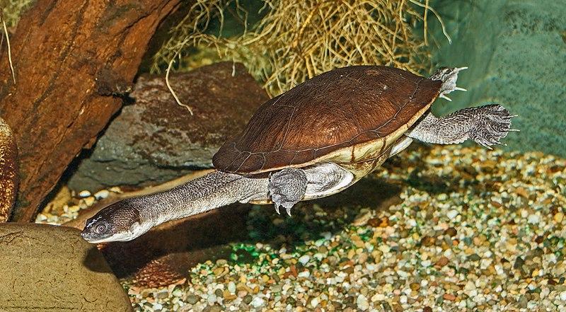La tartaruga collo di serpente di Roti