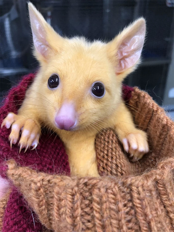 possum dorato che somiglia a Pikachu