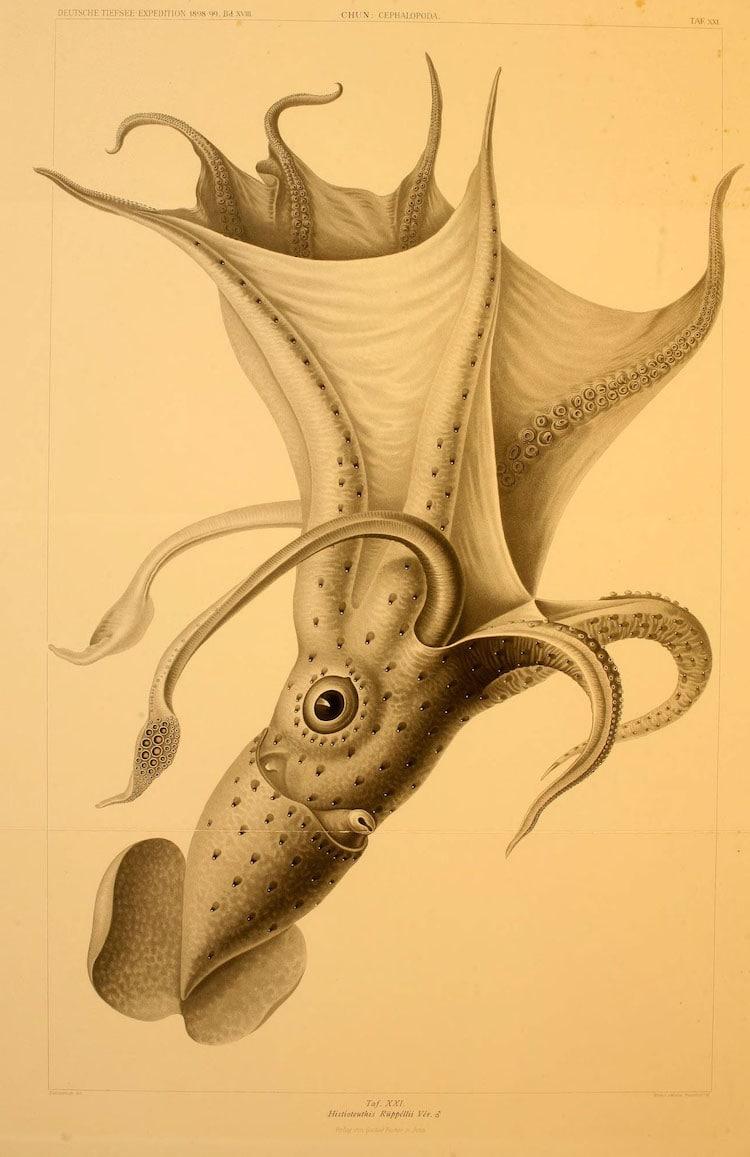 Histioteuthis ruppellii