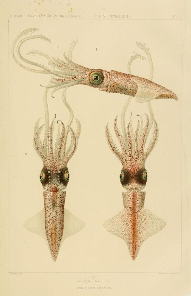 Abraliopsis Morisii Ver.