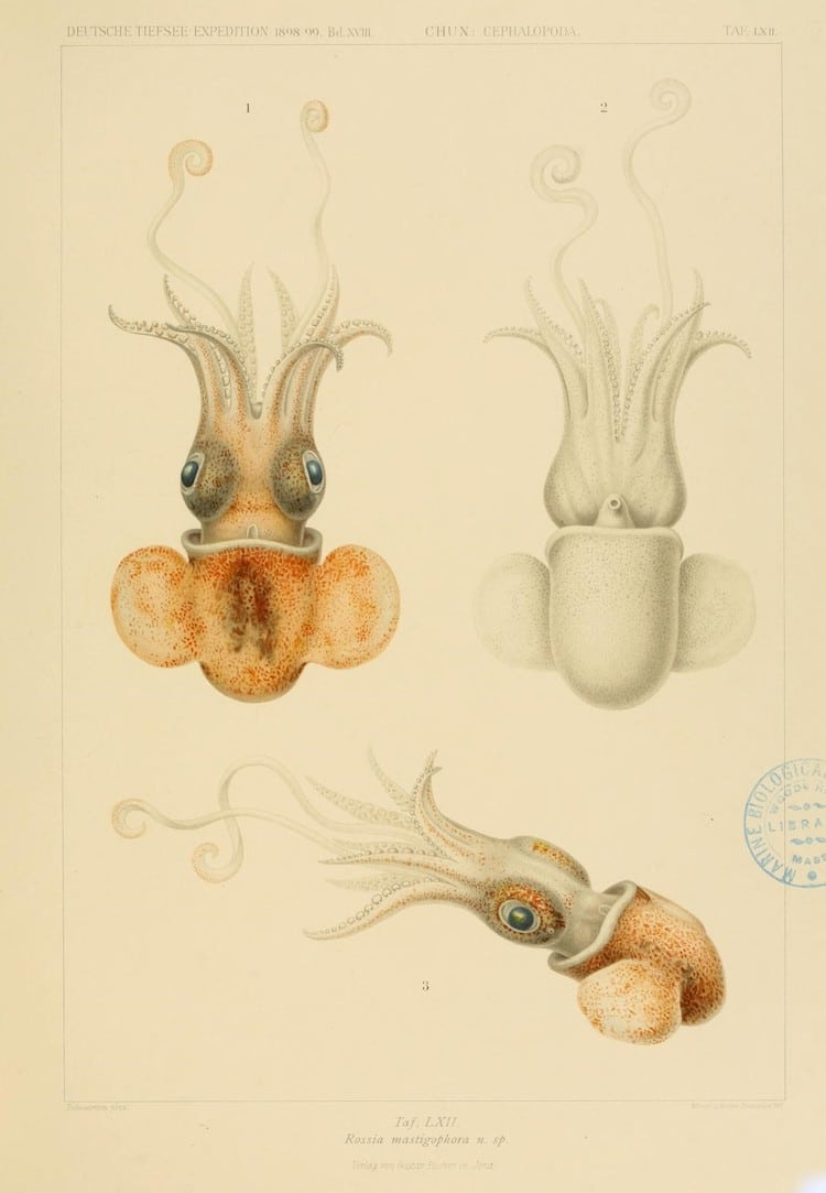 Rossia mastigophora