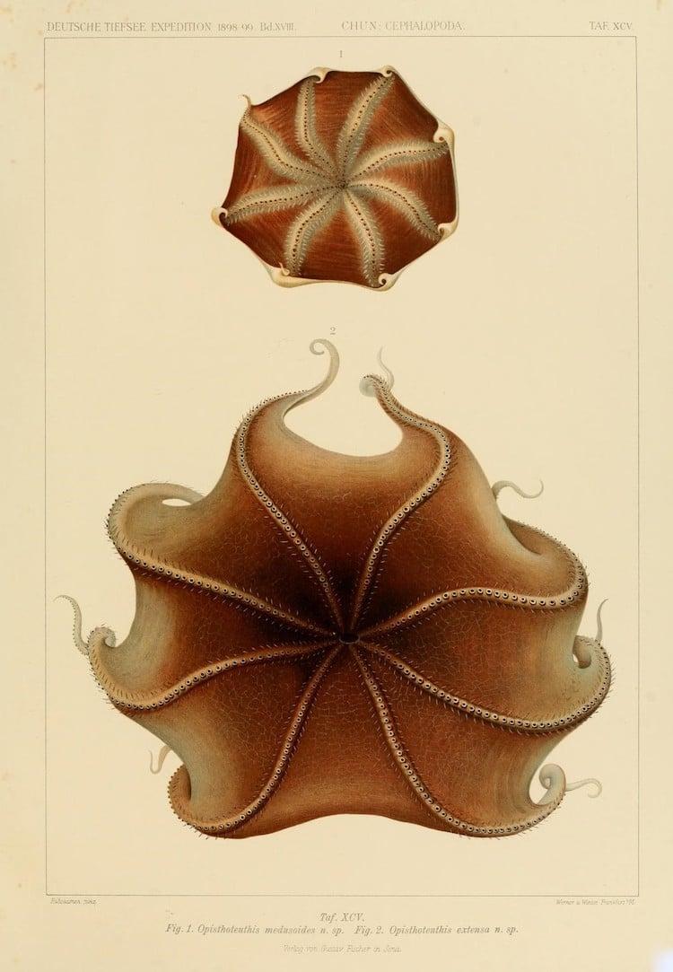 Opisthoteuthis medusoides / Opisthoteuthis extensa
