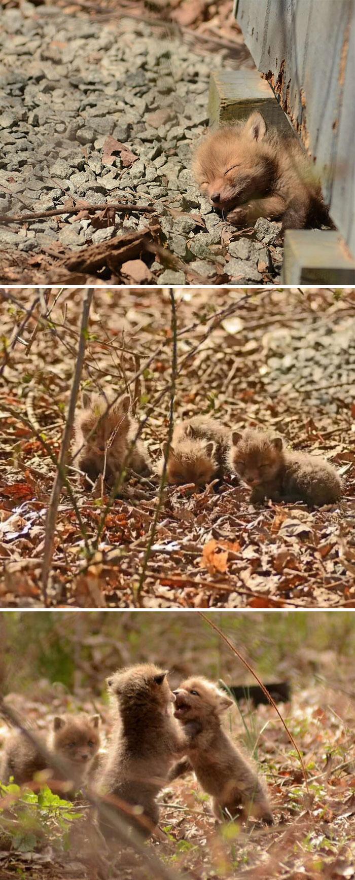 Cuccioli di volpe