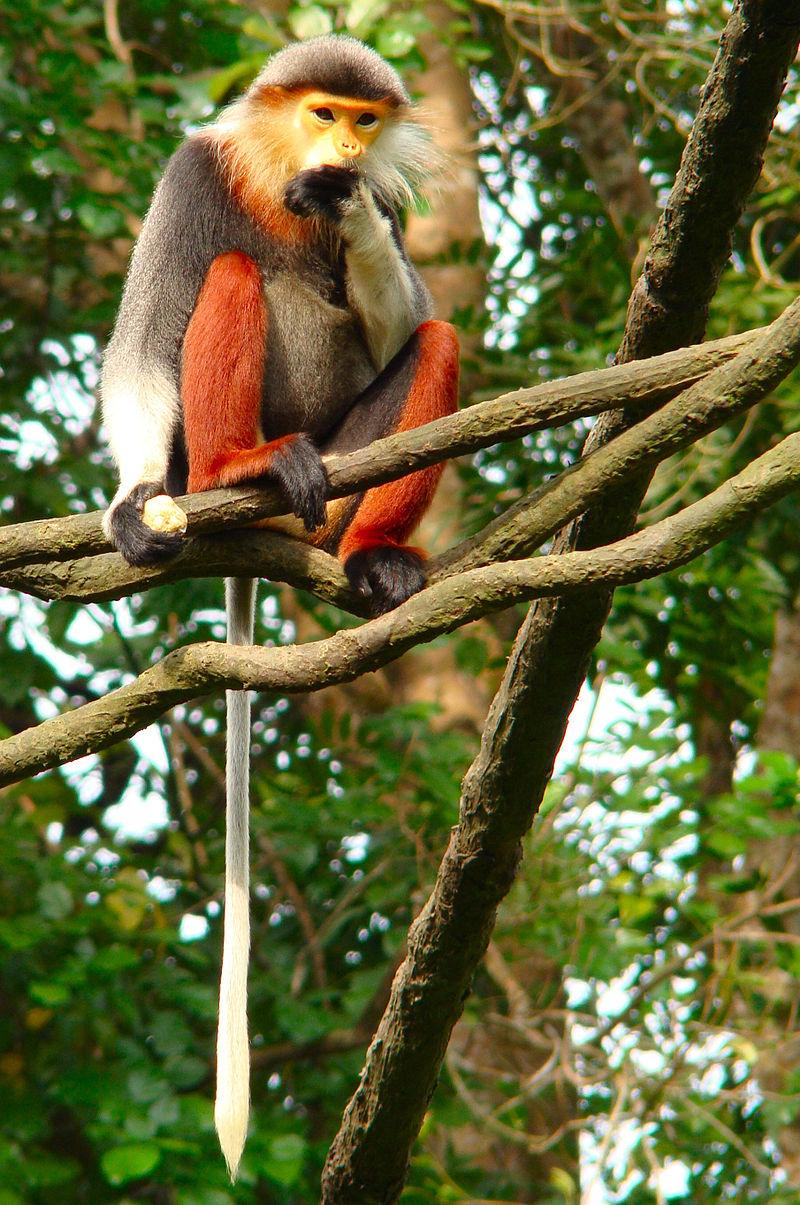 Langur duca (Pygathrix nemaeus)