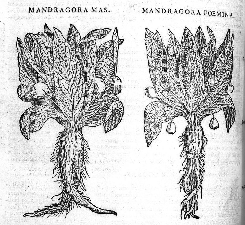 Mandragola maschio e femmina